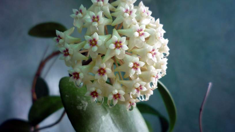 Hoya acuta (green form)